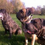 Education comportementaliste canine